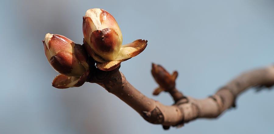 La gemmothérapie : les bienfaits des bourgeons